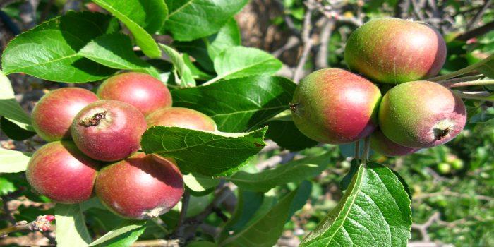 apple-tree-sale-small